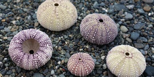 Green Sea Urchin (Strongylocentrotus droebachiensis) Tests