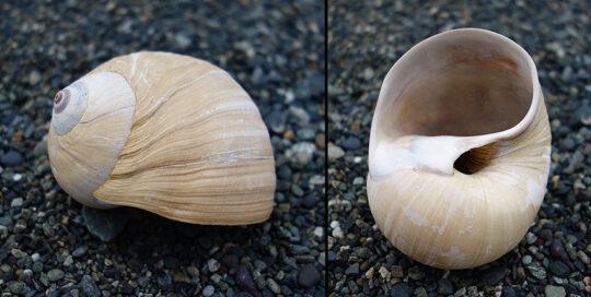 Lewis' Moonsnail (Euspira lewisii) Shell