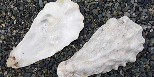 Pacific Oyster (Crassostrea gigas) Shell Valves