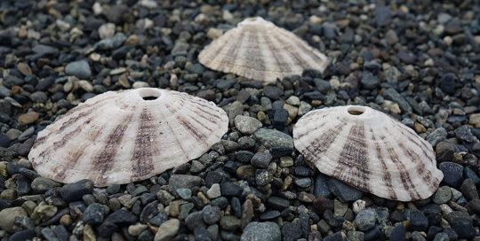 Rough Keyhole Limpet (Diodora aspera) Shells