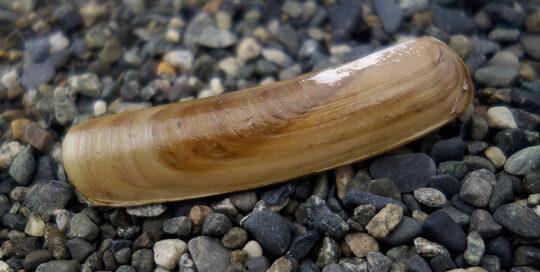 Sickle Jackknife Clam (Solen sicarius) Shell Valves