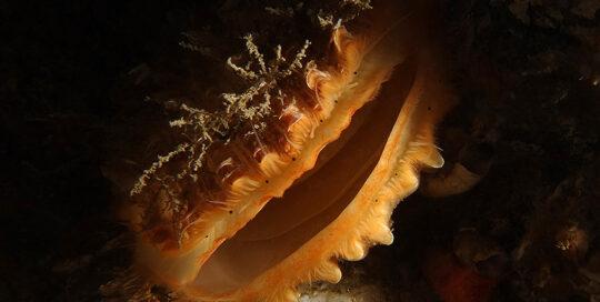 Young Giant Rock Scallop (Crassadoma gigantea)