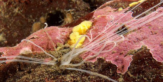 Spaghetti Worm (possibly - Thelepus crispus)