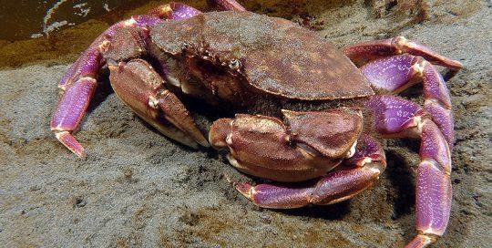 Graceful Crab (Cancer gracilis)