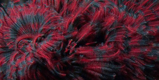 Northern Feather Duster (Eudistylia vancouveri) Plume