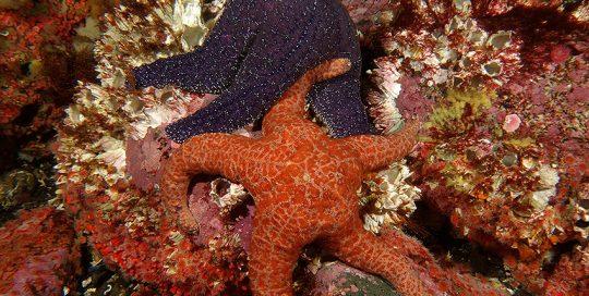 Ochre Star (Pisaster ochraceus) Colour Variations