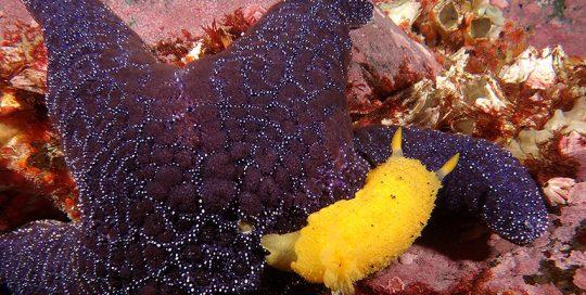Ochre Star (Pisaster ochraceus) and Monterey Sea Lemon