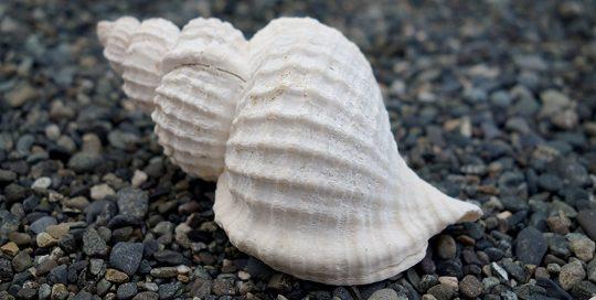 Oregon Triton (Fusitriton oregonensis) Shell