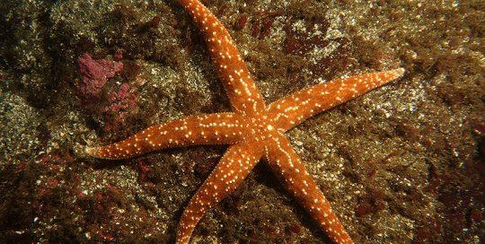 Mottled Star (Evasterias troschelii)
